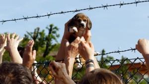 Un cucciolo di beagle liberato dall'allevamento di Green Hill (foto Ansa)