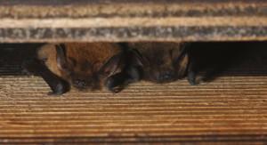 bat box pop up