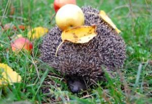 Riccio mela foglia