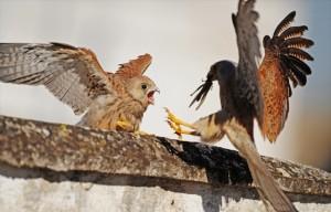 falco grillaio alta murgia