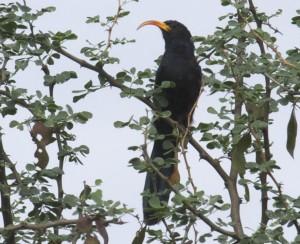 Uccello dal becco a scimitarra d'Abissinia