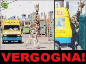 La giraffa scappata dal circo di Rinaldo Orfeimorta dopo l'inseguimento e la cattura