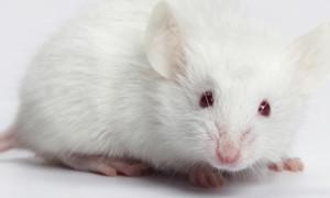 topo bianco