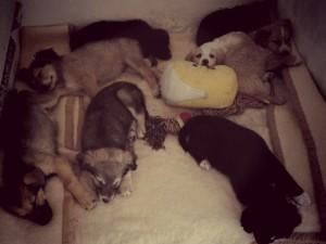 Otto cuccioli abbandonati che Facedog Macomer ha soccorso: tutti adottati