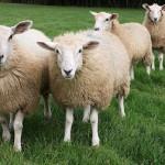 A Parigi arriva la pecora-giardiniere