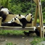 Piccoli panda in una nursery: giochi e dispetti