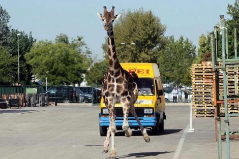 La giraffa scappata dal circo di Rinaldo Orfei, morta dopo l'inseguimento e la cattura