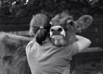 donna e mucca