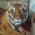 Una nuova casa per Cleo, la tigre dallo zoo di Napoli