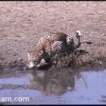 Africam, live gli animali del Sudafrica