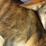 Milano, salva una cagnolina malata e denutrita usata per l'accattonaggio