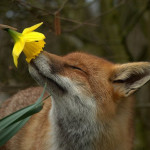 Le volpi di Siena sono salve, continua la mobilitazione per le altre