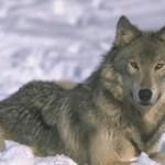 Come riconoscere un lupo (Canis lupus)