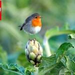 Uccelli e agricoltura (di Fulvio Mamone Capria, Lipu)