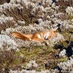 ACTION! Una mail per le volpi di Ferrara e i loro cuccioli