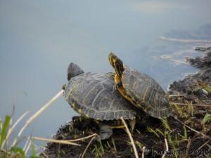 Tartaruga dalle orecchie gialle (Trachemys scripta scripta)