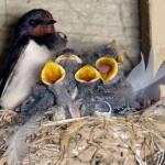 Distruggere un nido di rondine è reato
