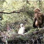 Webcam su uno spettacolare nido di Aquila anatraia minore