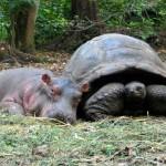 La strana amicizia tra l'ippopotamo e la tartaruga