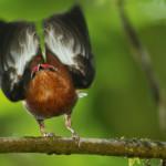 Il manachino delizioso che canta con le ali [Video]