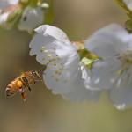 L'Europa mette al bando per due anni i pesticidi ammazza-api