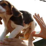 Confermato il sequestro preventivo dei beagle di Green Hill + Video Subsonica
