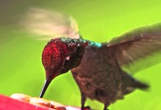 colibrì rescued