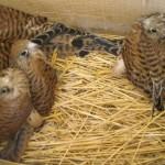 Webcam su un nido di Falco grillaio nel Parco dell'Alta Murgia