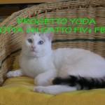Adottare un gatto Fiv+ o Felv+: il Progetto Yoda