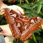 La farfalla più grande del mondo [Video]