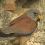 Riaccesi i riflettori sul nido online dei falchi grillai