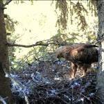 Webcam su uno spettacolare nido di Aquila pomarina