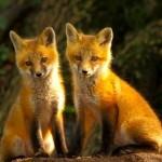 ACTION! Fermiamo la strage di 100 volpi nella provincia di Prato