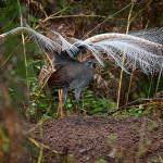 L'uccello lira che canta e balla [Video]