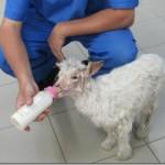 Mia, cucciola di pecora verso una nuova vita