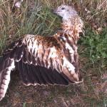 Pale eoliche: un pericolo per gli uccelli