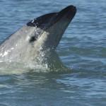 Moko, il delfino coraggioso