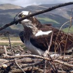 Webcam sui falchi pescatori del Dyfi Osprey Project