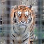 Tragedia annunciata dalle associazioni: sbranato da una tigre al Parco Martinat