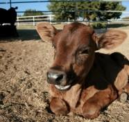 vitello texas