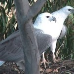 Webcam su un nido di aquile pescatrici panciabianca a Sidney