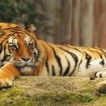 Una nuova casa per le tigri e il leopardo del Parco Martinat