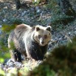 Una taglia di duemila euro per l'assassino dell'orso Stefano