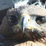 Tornato dai genitori l'aquilotto del Bonelli rubato dal nido