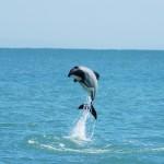 La pesca sportiva mette in pericolo il delfino di Hector
