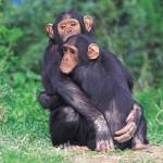 Scimpanzè liberi dopo 30 anni [Video]