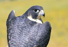 falcon project australia