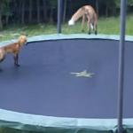 Volpi giocherellone: saltano sul tappeto elastico [Video]