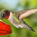 Webcam sui colibrì in California (Emma Nest)