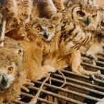 ACTION! Petizione contro i sacrifici di gufi e civette in India